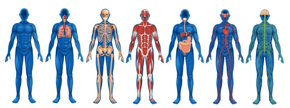 12 систем органов человека