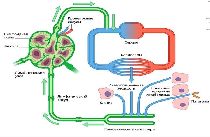 Функции лимфатической системы