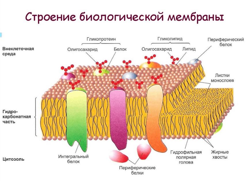 биоэнергия мембрана
